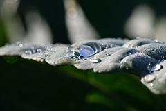 キャベツ畑の朝露