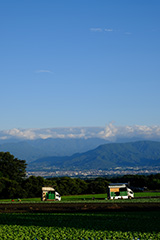 夏のレタス畑