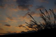秋のススキの夜明け
