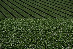 秋のホウレンソウ畑
