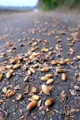 秋のドングリ