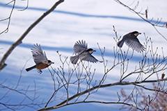 飛翔するヤマガラ
