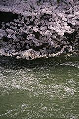 春の千鳥ヶ淵