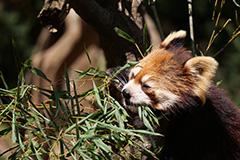 食事をするレッサーパンダ