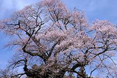 桜のオリジナルプリント