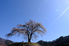 枝垂れ桜のオリジナルプリント