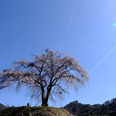 枝垂れ桜のフォト作品