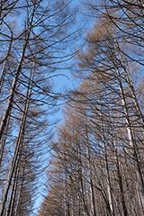 春のカラマツ林