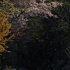 山桜のフォト作品