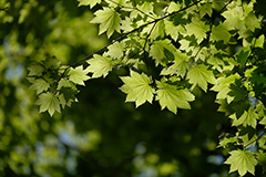 新緑のカエデ