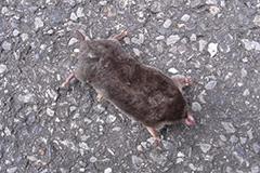 アズマモグラの死体