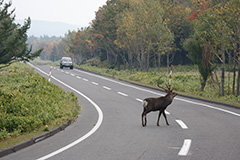 道路を横断するエゾシカ