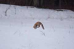 狩りをするホンドギツネ