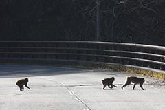 道路を横断するニホンザル