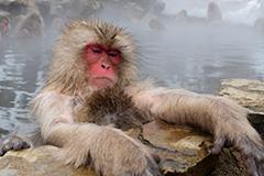温泉に入るニホンザル