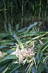 ツキノワグマの農作物被害