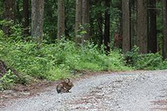 ニホンノウサギ