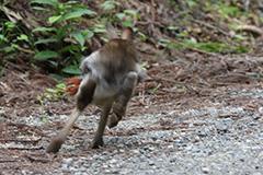 走るニホンノウサギ