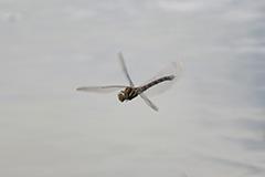 飛翔するルリボシヤンマ