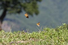 飛翔するメスグロヒョウモン