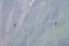 飛翔するアマツバメ