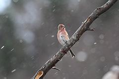 オオマシコの若鳥
