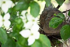 抱卵をするキジバト