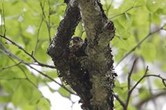 抱卵をするコサメビタキ