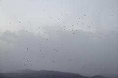 飛翔するハシボソガラス