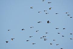 飛翔するヒヨドリ