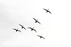 飛翔するコハクチョウ