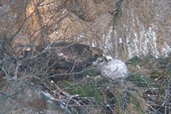 雛に給餌するイヌワシ