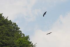 飛翔するイヌワシ
