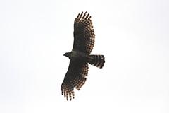 飛翔するクマタカ