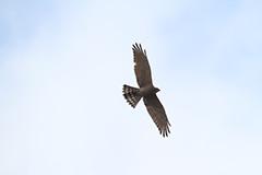 飛翔するサシバ