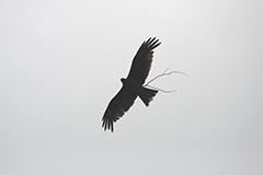 飛翔するトビ