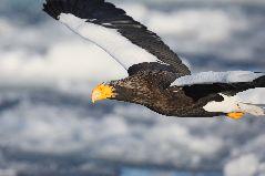飛翔するオオワシ