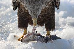 食事をするオジロワシ