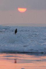 流氷とオジロワシ