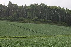 夏のキャベツ畑