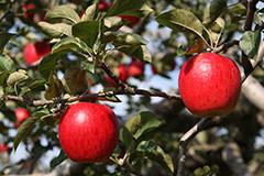 秋のリンゴ