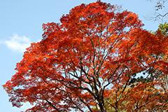 奥利根の紅葉