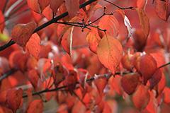 紅葉のウワミズザクラ