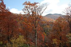紅葉のブナ林
