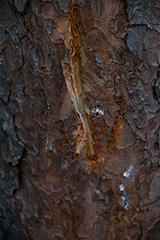 秋のシカの角研ぎ痕