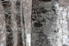 春のブナ林