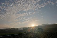 秋の朝採りレタスの夜明け