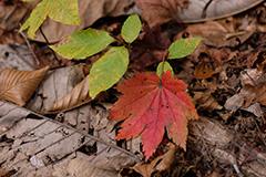 紅葉のカエデ