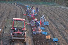 秋のコンニャク掘り