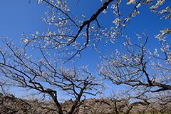 梅のオリジナルプリント